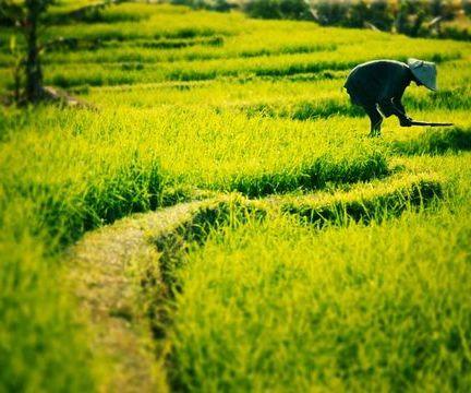 Bali Ubud Ricefield