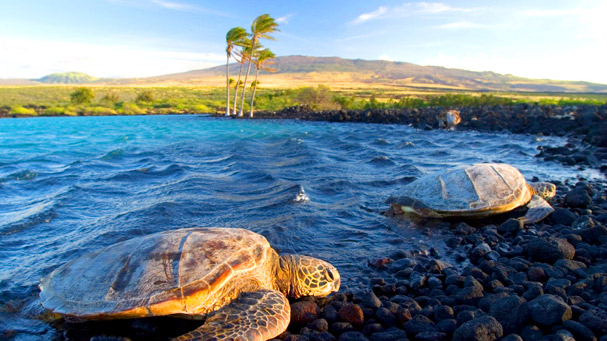 Marine turtles at Kiholo Bay, Hawaii