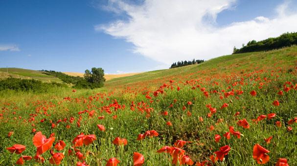 Italian poppy field